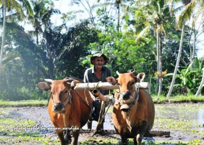 bali-traditional-farming